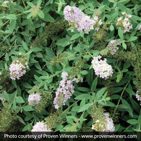 Lo and Behold Lilac Chip Butterfly Bush