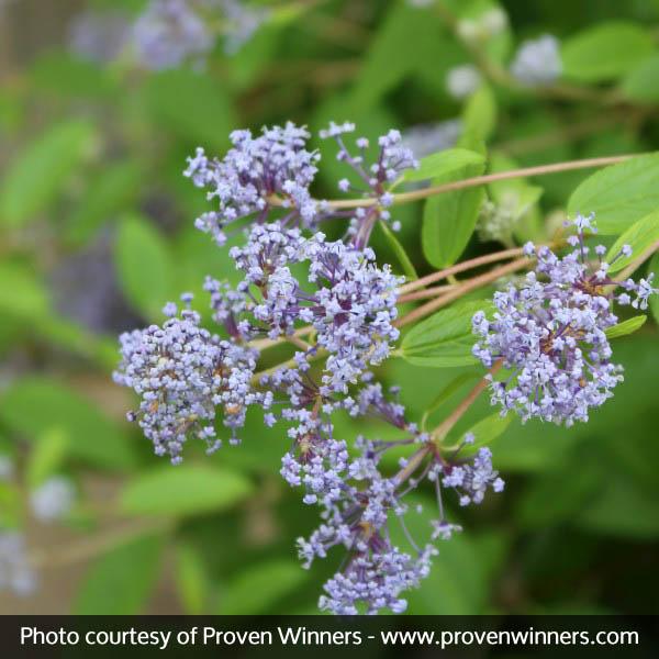 Marie Bleu California Lilac