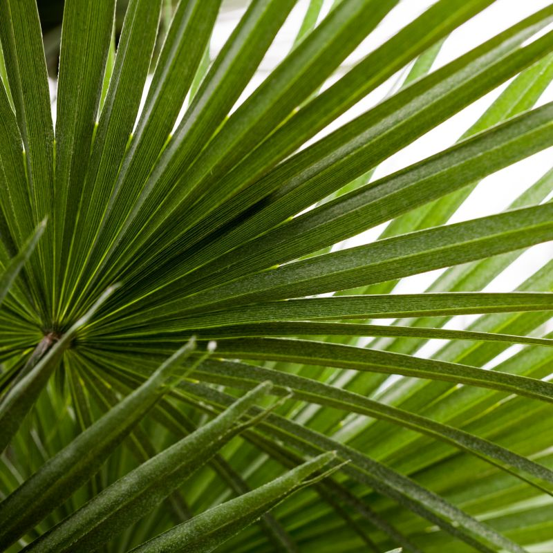 Mediterranean Fan Palm Tree