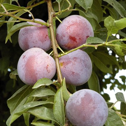 Methley Plum Tree