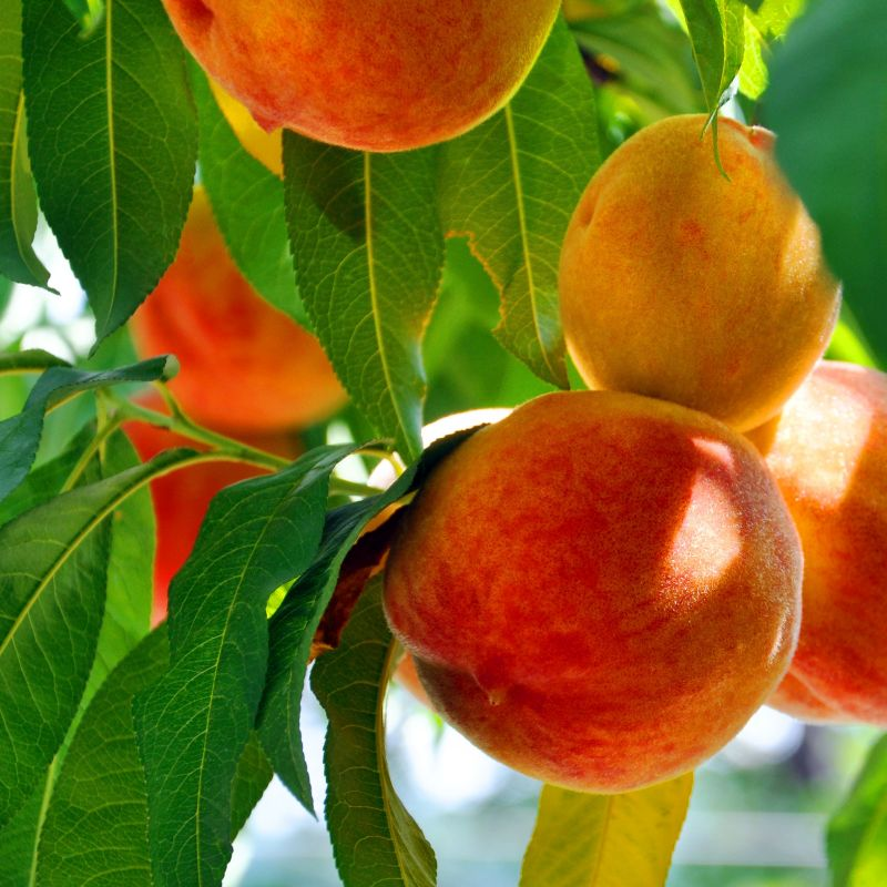 OHenry Peach Tree