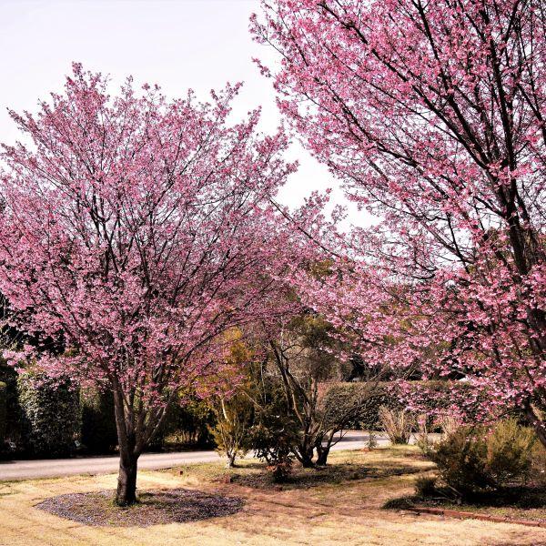 Okame Cherry Tree Naturehills Com