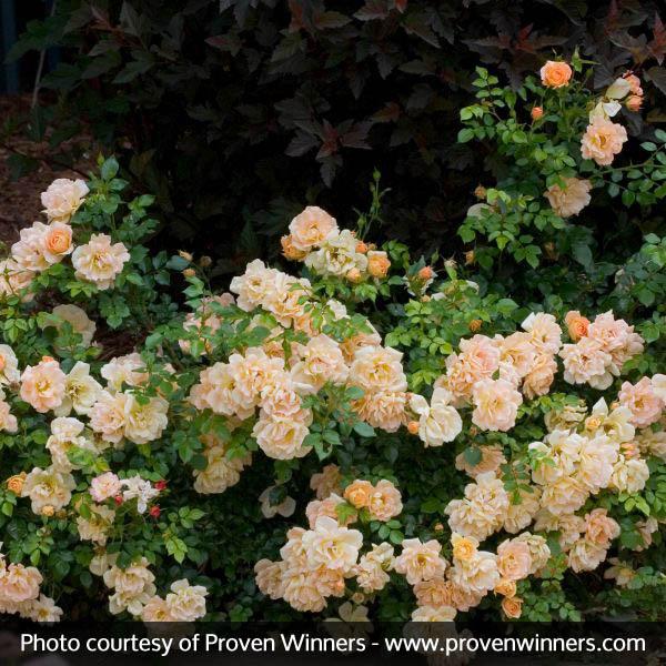 Oso Easy Peachy Cream Rose