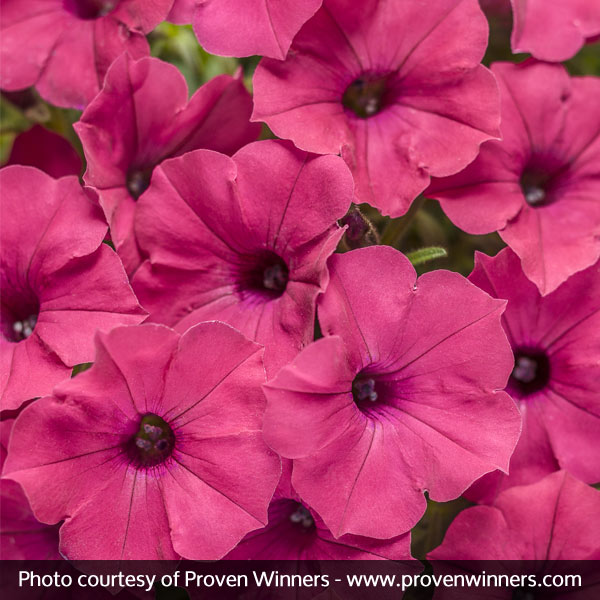 Supertunia Vista Fuchsia Petunia