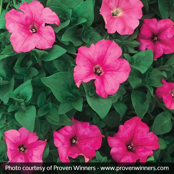 Supertunia Giant Pink Petunia