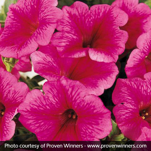 Supertunia Mini Strawberry Pink Veined Petunia