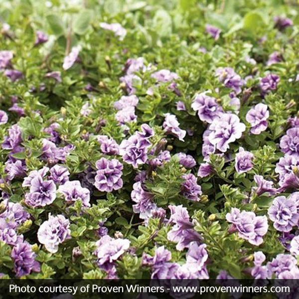 Supertunia Priscilla Petunia