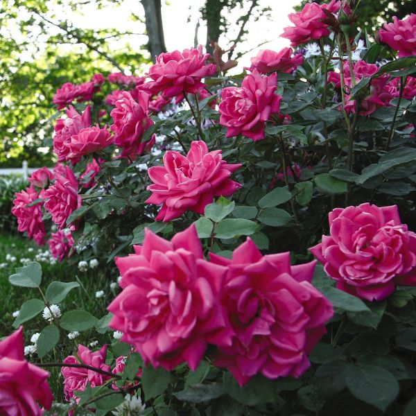 Pink Double Knock Out Rose Shrub