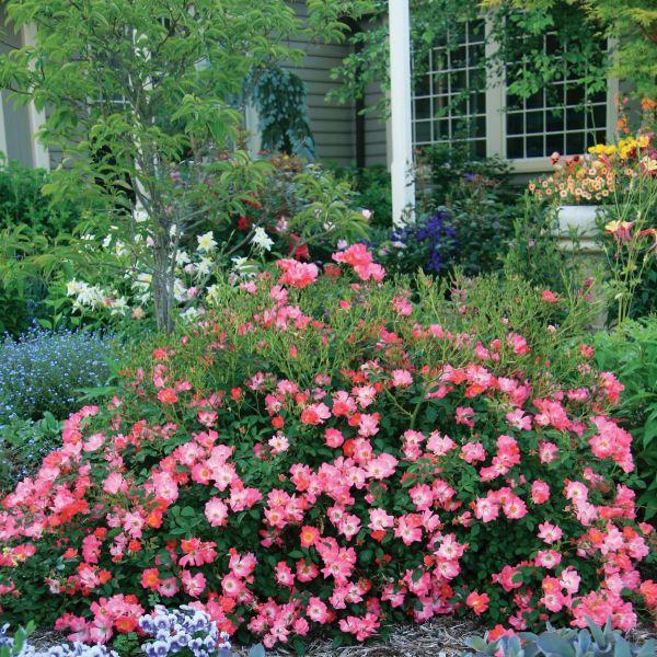Pink Drift Groundcover Rose