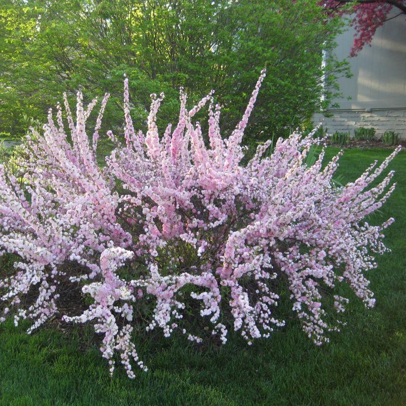 Pink Flowering Almond