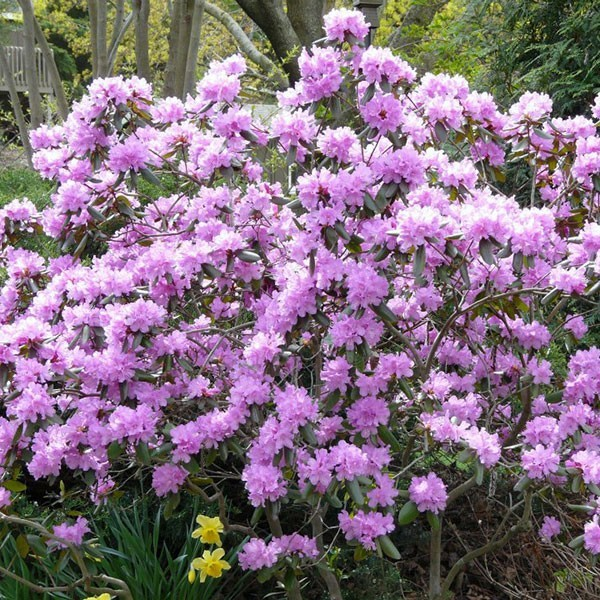 P J M Rhododendron Buy At Nature Hills Nursery
