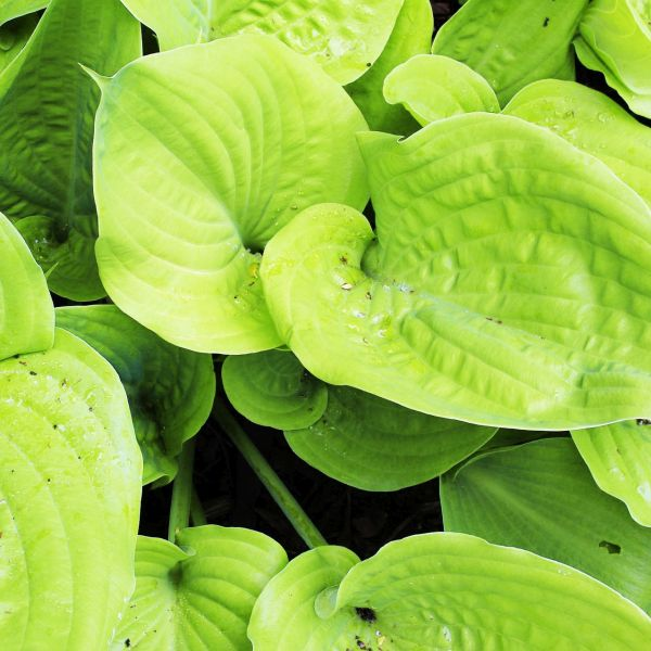 Key West Hosta