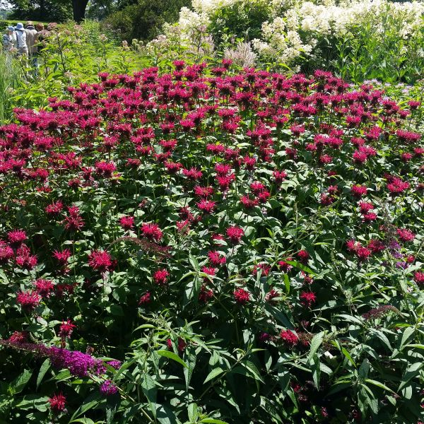 Raspberry Wine Bee Balm