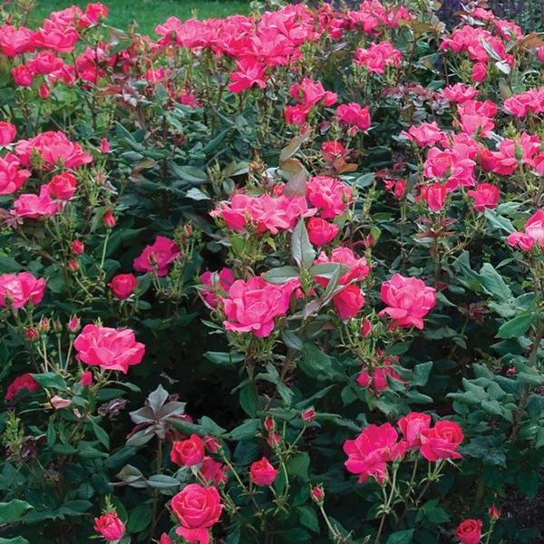 Red Knock Out Rose Shrub