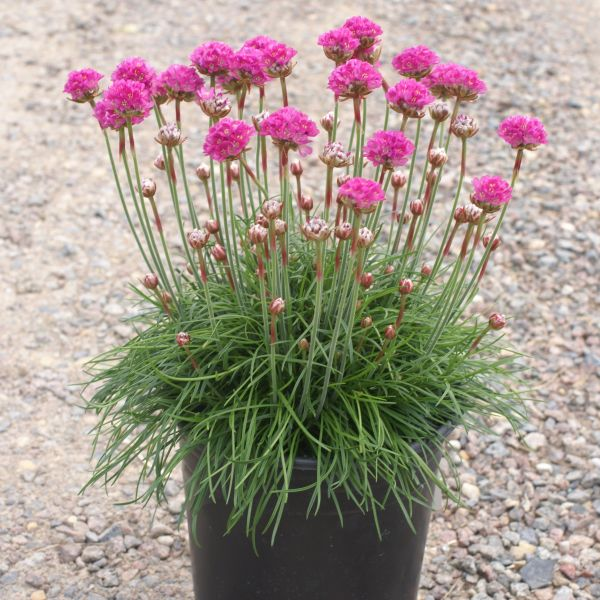 Sea Thrift Splendins