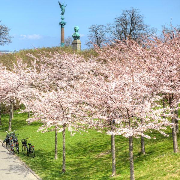 Shirofugen Flowering Cherry Naturehills Com