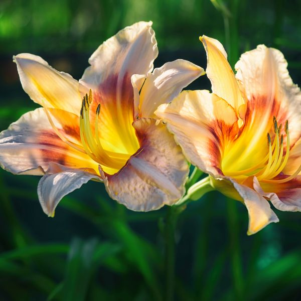 Siloam Dream Baby Daylily