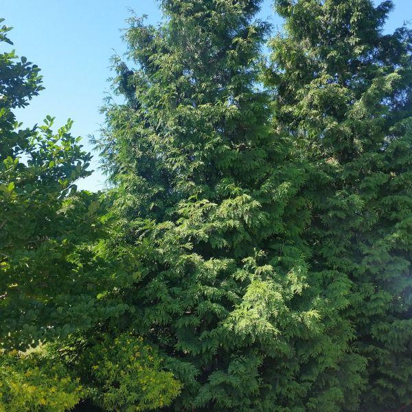 Spring Grove Arborvitae