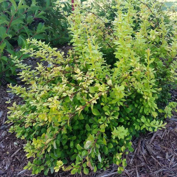 Sunjoy Citrus Barberry