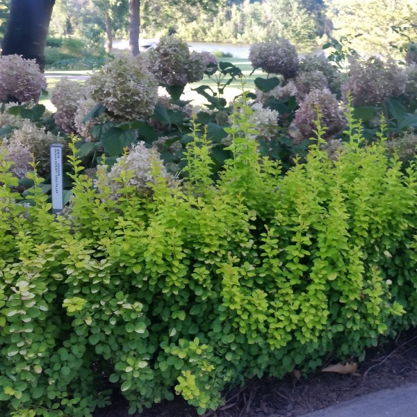 Sunjoy Gold Pillar Barberry