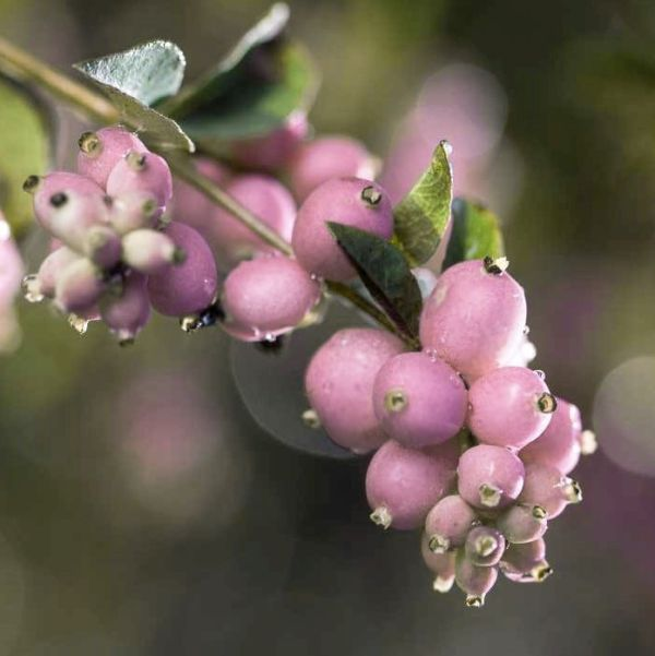 Sweet Sensation Snowberry