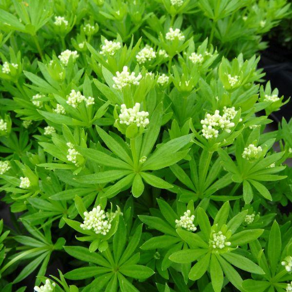 Sweet Woodruff Nature Hills Nursery