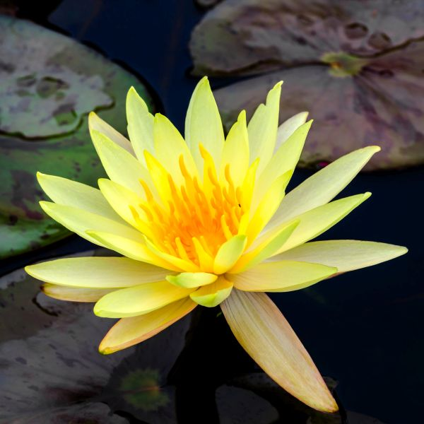 Texas Dawn Water Lily