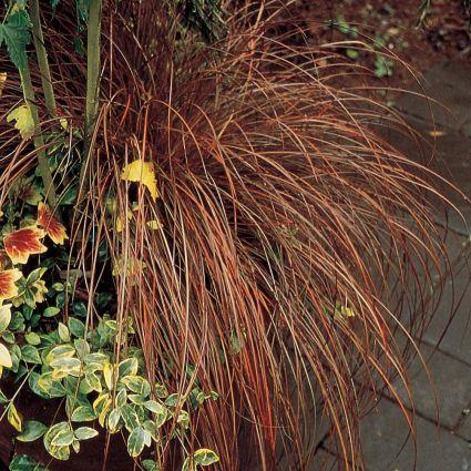Toffee Twist Sedge Grass