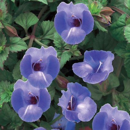 Torenia Summer Wave Blue