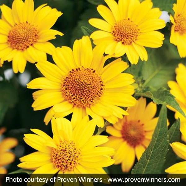 Tuscan Sun Sunflower