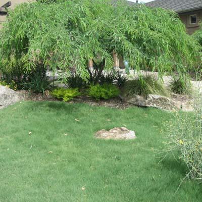 UC Verde Buffalo Grass Plugs