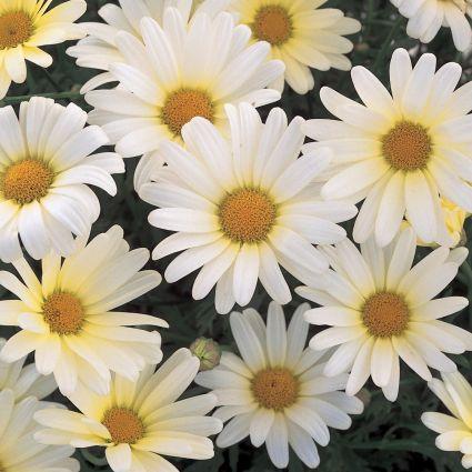 Vanilla Butterfly Daisy