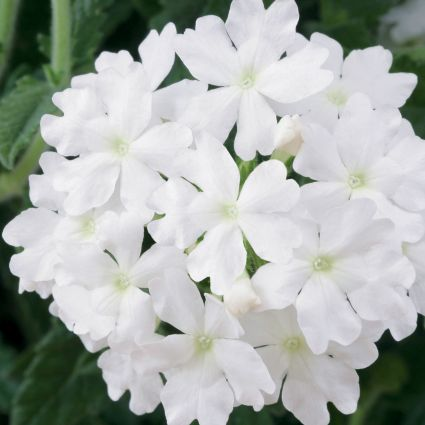 Verbena Lanai Blush White