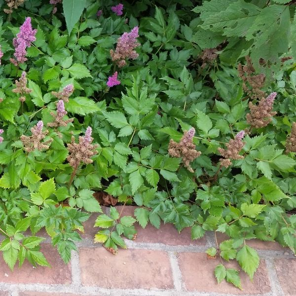 Visions Astilbe