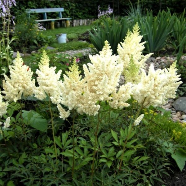 Visions in White Astilbe