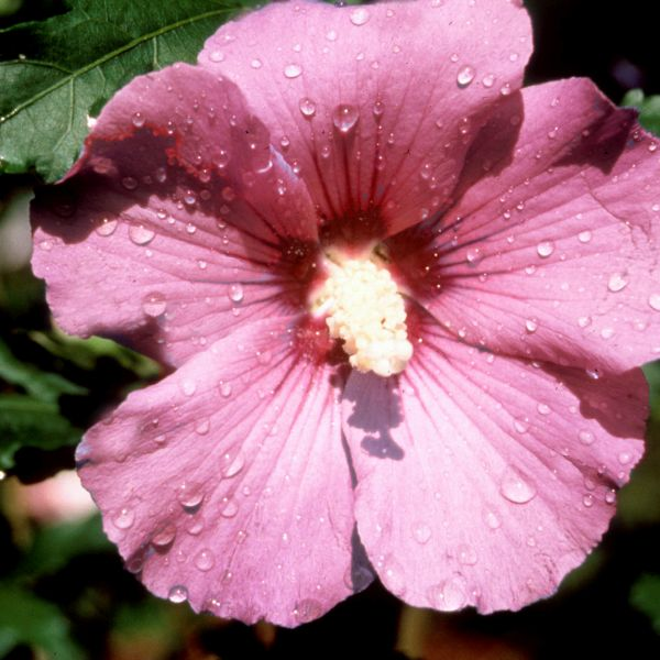 Woodbridge Rose of Sharon