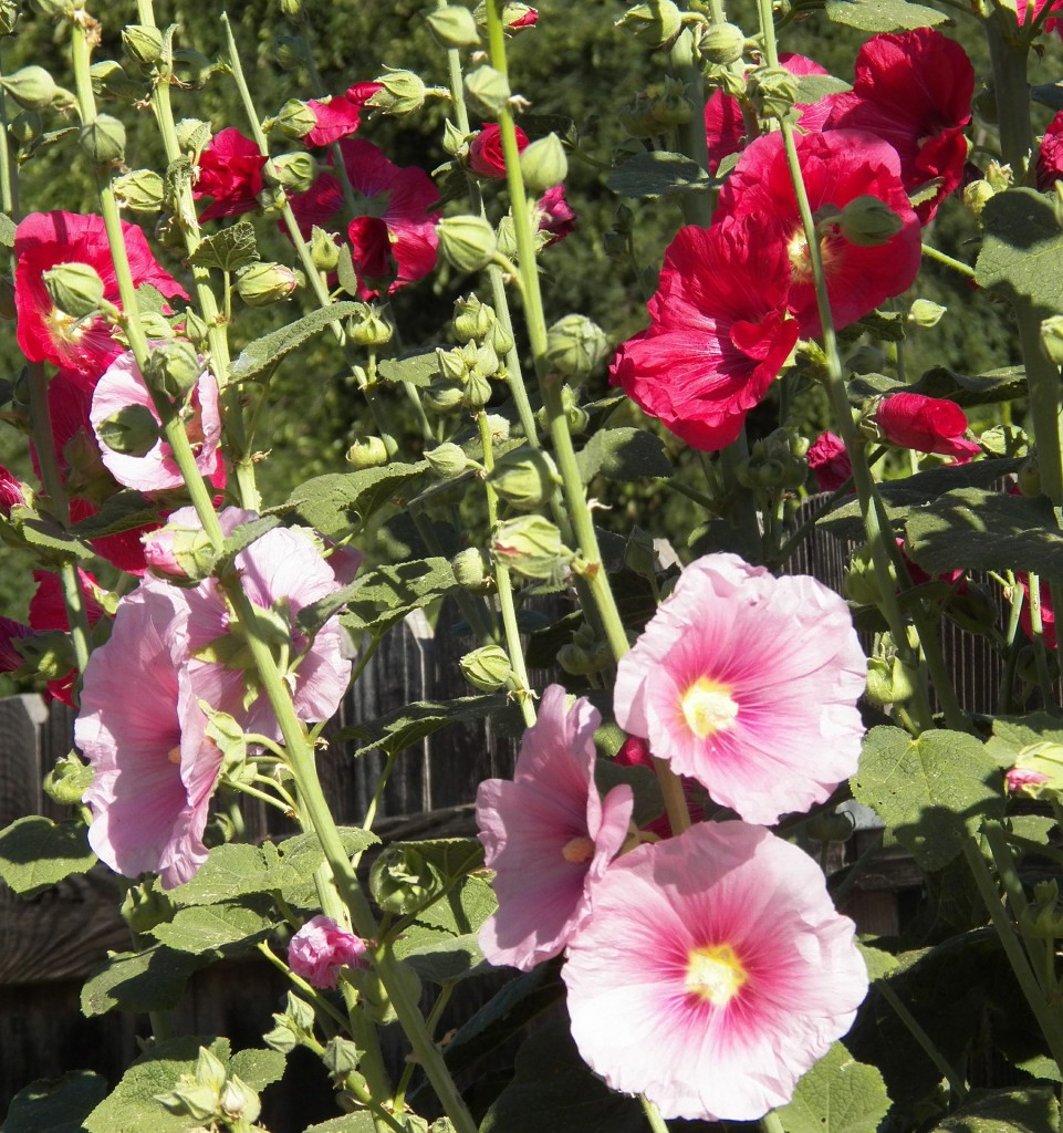 Rose Of Sharon Care