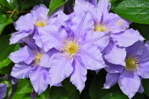 Dividing Purple Clematis