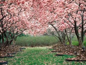 Planting Cherry Trees