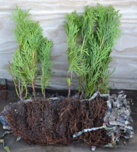 Arborvitae Cuttings