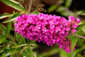 butterfly bush flower