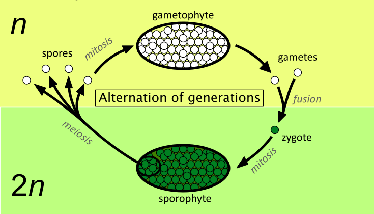 Alternation of fern generations