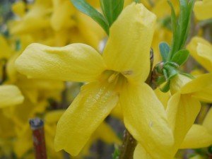 Forsythia flower cut