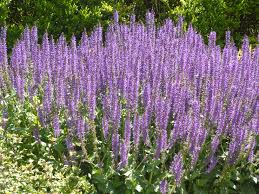 Purple Salvia Plants