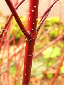 Red Twig Dogwood Close Up
