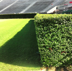 Side_view_of_Privet_Hedges
