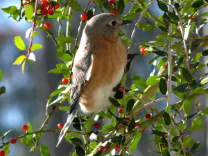 Bluebird eating Holly Berries