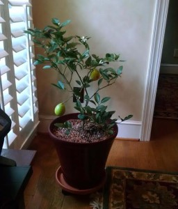 Indoor Citrus Tree