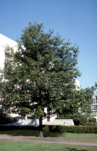 Northern Red Oak 2
