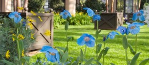 longwoodpoppies